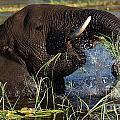 Elephant Eating Grass In Water by Mareko Marciniak