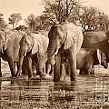Elephant Family At Khwai by Mareko Marciniak