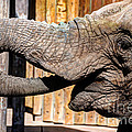 Elephant Feeding Time At The Zoo by Gary Whitton