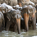 Elephant Herd In River by Jane Rix