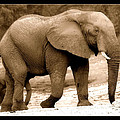 elephant of Botswana by Helen Ahlers
