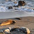 Elephant Seals At Piedras Blancas by Lynn Bauer