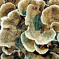 Elephant Skin Coral (pachyseris Sp.) by Matthew Oldfield