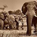 Elephants At Khwai River by Mareko Marciniak
