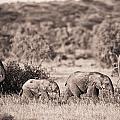 Elephants Walking In A Row Samburu Kenya by David DuChemin