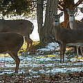 Eleven Deer Standing by Lainie Wrightson