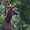 Elk by Barbara Thorvilson