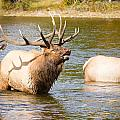 Elk Bugle Estes Lake Colorado by James BO Insogna