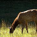 Elk Calf by Mel Hensley