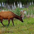Elk Cervus Elaphus Jasper National by Mike Grandmailson