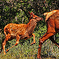 Elk Fawn by Tommy Anderson