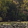Elk Herd Crossing Buffalo National River by Michael Dougherty