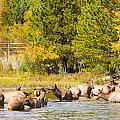 Elk Herd With Autumn Colors by James BO  Insogna