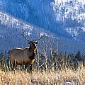 Elk In Forest, Banff National Park by Philippe Widling