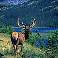 Elk In Summer By Mountain Lake by Jason Witherspoon