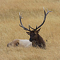 Elk In The Meadow by Steve McKinzie