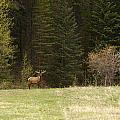 Elk by Larry Roberson