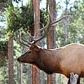 Elk Profile 2 Square by David Dunham