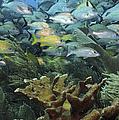 Elkhorn Coral With Schooling Grunts by Karen Doody