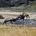Elks Rutting by Marilyn Hunt