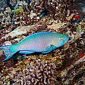 Ember Parrotfish by Dave Fleetham