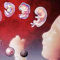 Embryo Development by Hans-ulrich Osterwalder