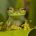 Emerald Glass Frog Centrolene by Pete Oxford