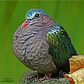 Emerald Ground Dove by Rebecca Morgan