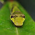 Emerald Swallowtail Caterpillar by Stephen Bowden
