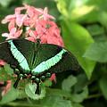 Emerald Swallowtail by Floyd Menezes