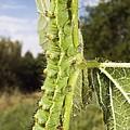 Emperor Moth Caterpillar by Paul Harcourt Davies