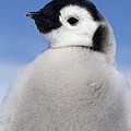Emperor Penguin Chick by Winfried Wisniewski