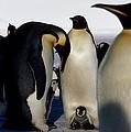 Emperor Penguins Sheltering Chicks by Doug Allan