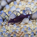 Emporer Shrimp On A Large Pin Cushion by Terry Moore