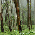 Australia Enchanted Forest by Bob Christopher