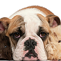 English Bulldog And Guinea Pig by Life On White