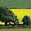 English Field Of Yellow 2 by Mike Nellums