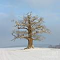 English Oak by Mark Taylor
