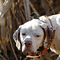 English Pointer On Point - D004001 by Daniel Dempster