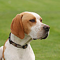 English Pointer by Waldek Dabrowski