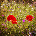 English Summer Meadow. by Clare Bambers - Bambers Images
