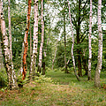 English Woods Silver Birch Trees by Daniel Blatt