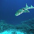 Epaulette Shark Hemiscyllium Ocellatum by Mike Parry