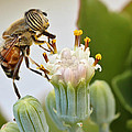 Eristalinus Taeniops by Heidi Smith