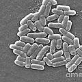 Escherichia Coli, Sem by CDC/Science Source