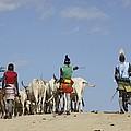 Ethiopia, Hamer Tribe Herding Cattl by Photostock-israel