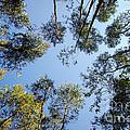 Eucalyptus by Carlos Caetano