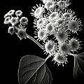 Eupatorium In Black And White by Endre Balogh