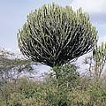 Euphorbia Candelabrum by Adrian T Sumner