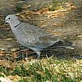 Eurasian Dove by Lori Tordsen